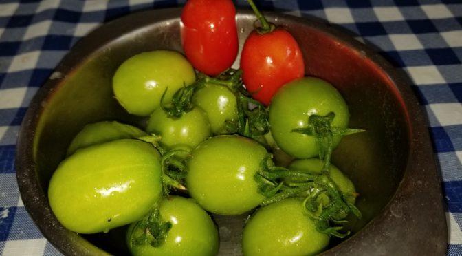 Harvesting Cherry Tomato